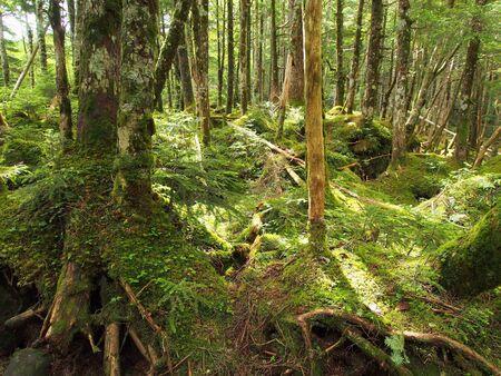 Mt.Yatsugatake forest covered by moss