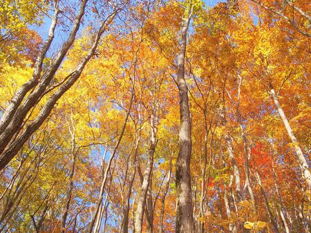 The forest of autumn leaves in Japan Tokyo