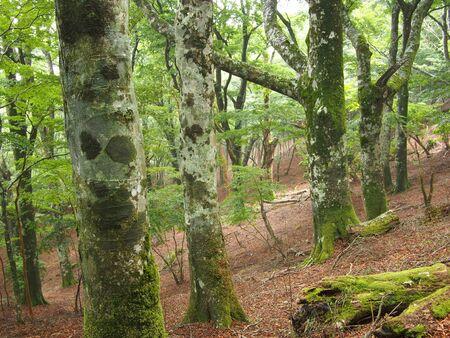 beech forest in Japan Banco de Imagens