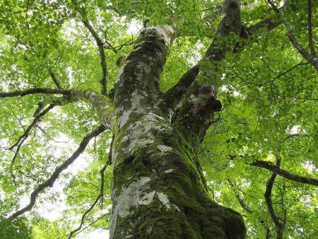 big beech tree and fresh green