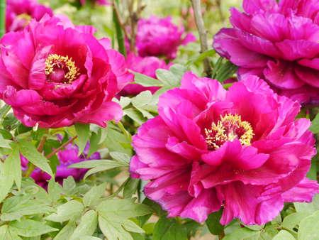 Peony flower Banco de Imagens