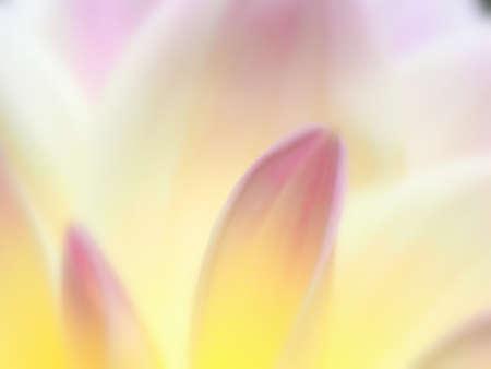Background of dahlia petals