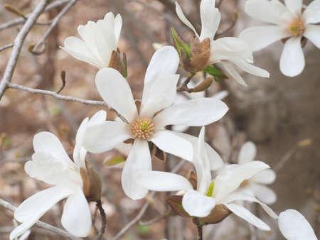 Flower of Magnolia.