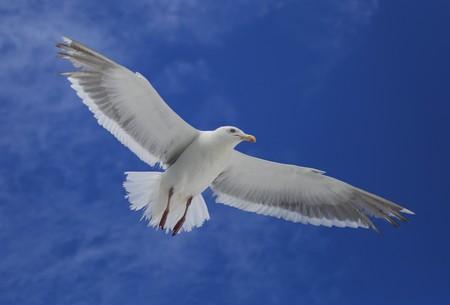 Sea Gull 写真素材