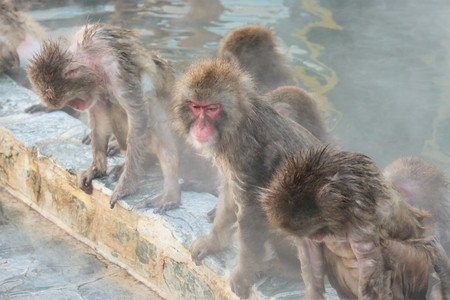 Japanese macaques taking a hot spring