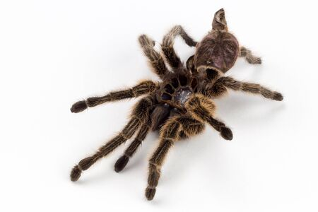 haired: Tarantula Molt Rose Haired Spider