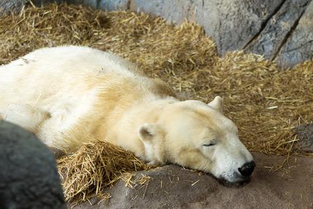 confined: content sleeping polar bear