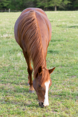 consuming: older Arabian brown and white mature horse in pasture front view portrait feeding down to eat vegetation