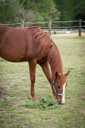 consuming: older Arabian brown and white mature horse in pasture eating vegetation from ground
