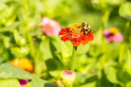 to dominate: honey bee on red orange yellow flower left side dominate late summer with pollen sacs on legs-3458