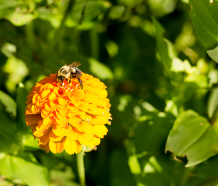 to dominate: honey bee on orange yellow flower left side dominate late summer with pollen sacs on legs-3448 Stock Photo