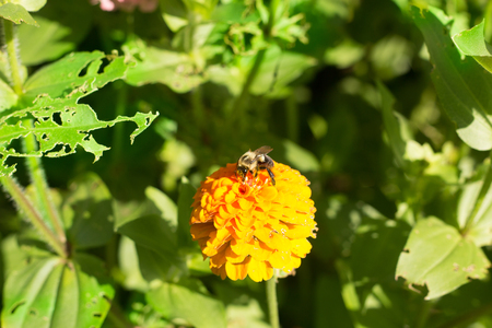 to dominate: honey bee on orange yellow flower right side dominate late summer with pollen sacs on legs-3448