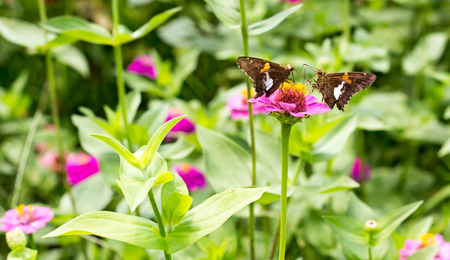 face off: two brown butterflies face off on purple flower wide crop Stock Photo
