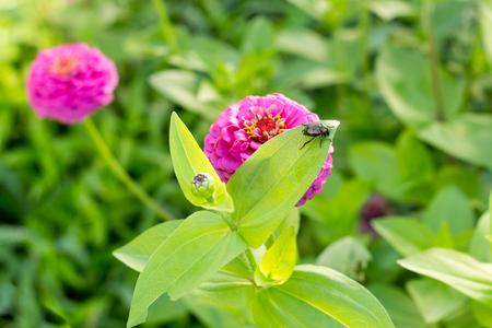 japenese: beetle eating leaf on purple flow4r with bulb wide crop