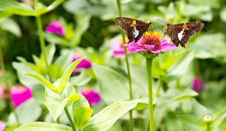 face off: two brown butterflies face off on purple flower medium crop 2 Stock Photo