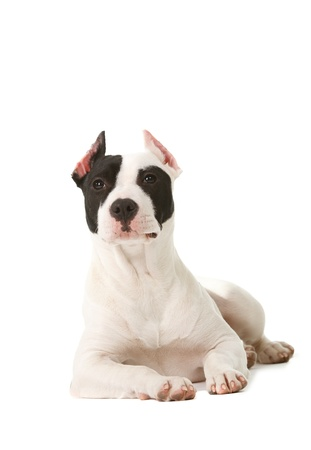 Six month old American Pit Bull Terrier with cropped ears on white background