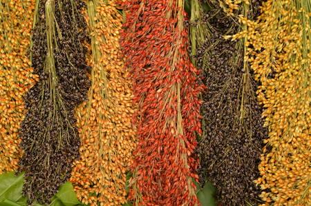 sorgo: Sorghum bicolor en la hoja verde