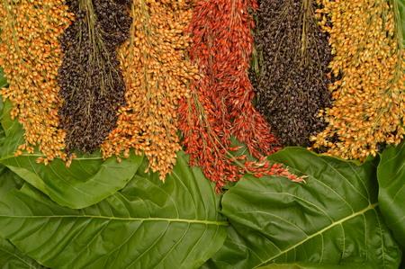 sorgo: bi color en la hoja de sorgo