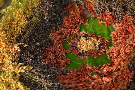 sorgo: c�rculo Sorghum bicolor en la hoja