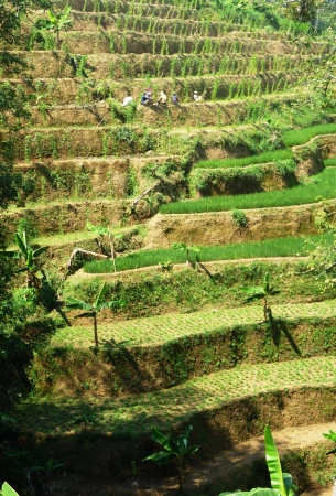 colo: views of terraced fields on hills colo, Kudus, Indonesia