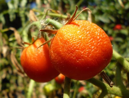 moulder: that are too ripe tomatoes until wilted ends