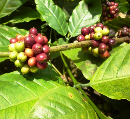 Ripening coffee beans on a tree in central java photo