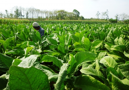 Tobacco planting in central java of Indonesia