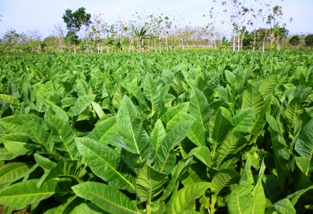 Tobacco planting in central java of Indonesia 免版税图像