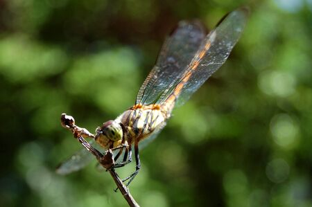dragonfly perched on twigs and branches of plants in Indonesia photo