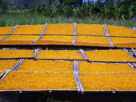 scorching: drying corn kernels under the scorching sun in Indonesia Stock Photo