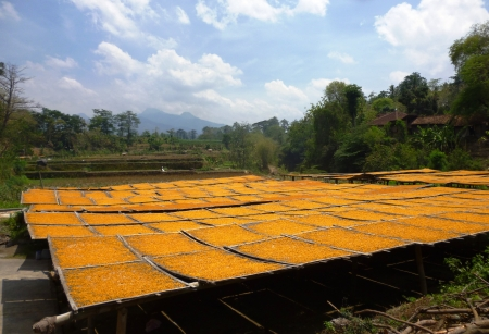 drying corn cobs: drying corn kernels under the scorching sun in Indonesia Stock Photo