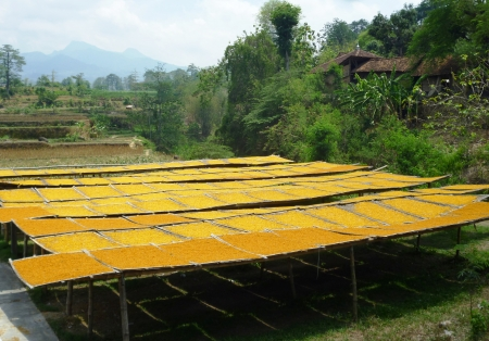 drying corn kernels under the scorching sun in Indonesia photo