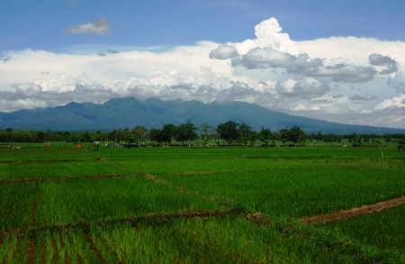 shafts: plants rice fields in tropical country, Indonesia Stock Photo