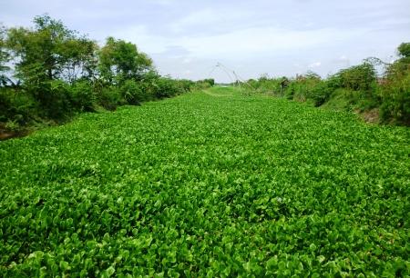 water hyacinth: view at river and Water hyacinth Stock Photo