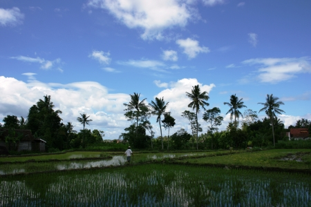 plants rice fields in tropical country, Indonesia photo