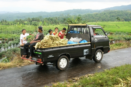 transporting: farmers transporting harvest vegetables with pickups