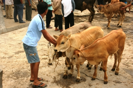 penned: atmosphere in the cattle market in Asia, Indonesia