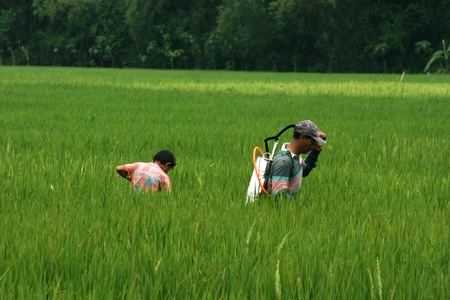 Farmers planting rice in indonesia, working in field
