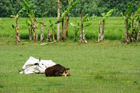 indigence: An unidentified indonesian cows the footbal field