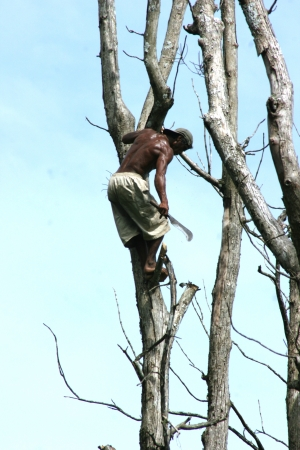 tree climber who cut off a branch that has been dried for firewood in asia  photo