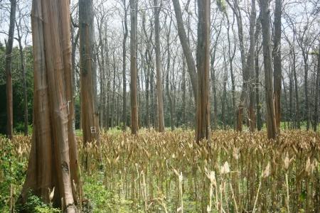 deciduous teak trees in timber -producing areas Randublatung , Blora , Indonesia Stock Photo