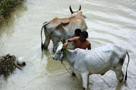 indigence: BLORA, INDONESIA - JANUARY 06  An unidentified indonesian with cows bathing in the river on January 06, 2011 in Blora district, Indonesia
