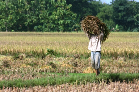 Farmers planting rice in indonesia, working in field photo