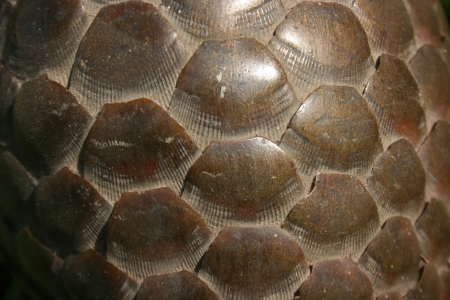 pangolin shell texture as background  photo