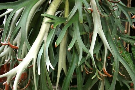 platycerium: Tanduk Rusa flower  Platycerium coronarium  in conditions close-up