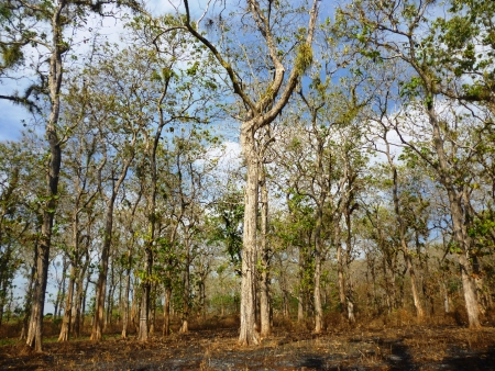 holz: teak trees in timber-producing areas todanan, Blora, Indonesia  Stock Photo