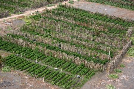 Sandy soil: campos de chile en suelo arenoso en la playa Bugel, Kulonprogro