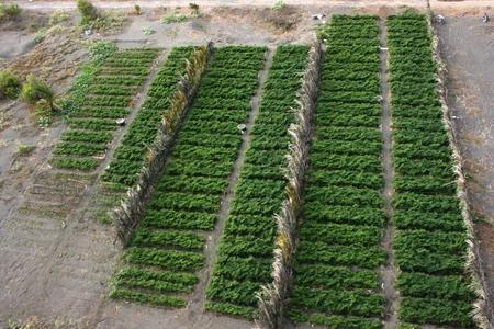 sandy soil: campi di peperoncino in un terreno sabbioso in spiaggia Bugel, Kulonprogro
