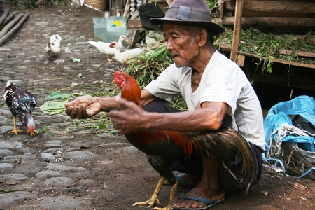 cockfighting:  YOGYAKARTA - APRIL 12 old man showing off his prime cockfighting rooster on April 12, 2008 in Yogyakarta Indonesia