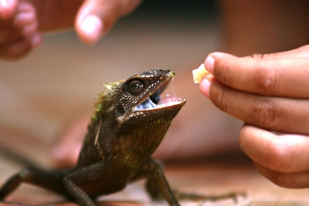 gave: a chameleon who is present on the home page and be invited to play by a boy with crackers gave  Stock Photo